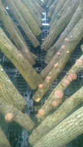 太陽光発電所で原木椎茸栽培中